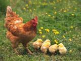 Фотография объявления продам курицу с цыплятами