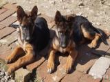 Питомник предлагает элитных щенков от производителей Германии