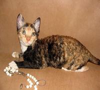 Котёнок уральский рекс из питомника. Есть разные окрасы. Гипоаллергенная порода с кудрявой шерстью