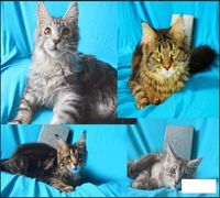 Питомник предлагает 5-ти месячных котят породы мейн кун с полным комплектом документов. Цены - от 9