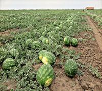 Продаем арбуз оптом с поля в Краснодарском крае, арбузы отличного качества, калибр от 5 до 12 кг.  А...
